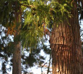 檜(ヒノキ)の木